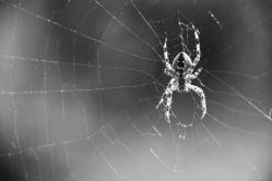 spider ph